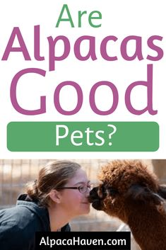 You may be wondering if raising alpacas is a good idea. Do alpacas make good pets? All great questions that are answered in this post asking the question, are alpacas good pets. Find out if it's a good idea to raise a pet alpaca here. Cute Alpaca, Baby Alpaca, Alpaca Drawing, Starting A Farm, Barn Layout, Llama Face, Horse Shelter, Funny Photography, Mini Farm