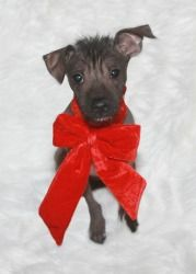 Tilly is an adoptable Xoloitzcuintle (Mexican Hairless) Dog in Abilene, TX. My name is Tilly! I am a fiesty and fun little hairless girl! I have a little hair on m head and some on my tail! I like...