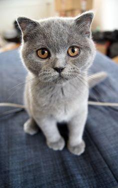 catp0rn:  Small Scottish Fold Kitten by Vertor