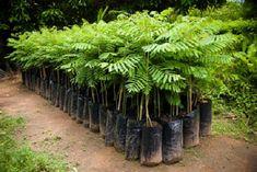 Não tem como não ficar fascinado com a riqueza da flora brasileira.Como não se encantar, por exemplo, com os benefícios das nossas plantas medicinais?A planta destacada neste post é encontrada principalmente no Sul e Sudeste do país.