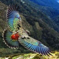 New Zealand Kea is a large species of parrot, about 19 long, found in forested & alpine regions of the S Island of NZ. Kea is known for their intelligence Pretty Birds, Beautiful Birds, Animals Beautiful, Nature Animals, Animals And Pets, Cute Animals, Exotic Birds, Colorful Birds, Vogel Gif