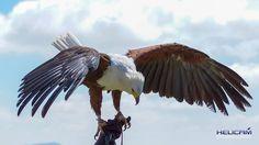 Gorgeous Fish Eagle at Falcon Ridge in Champayne Valley, Drakensberg, South Africa Bald Eagle, South Africa, Fish, Awesome, Animals, Animales, Animaux, Animais, Animal