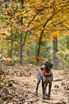 German Shorthaired Pointer at Lake Forest Park.