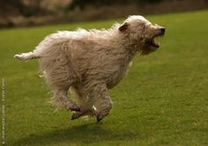 FCI Group 3 / Soft Coated Wheaten Terrier - Royal Canin