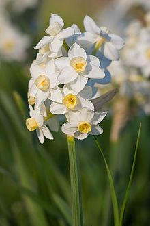 Narcissus - Rodeo Valley in January. From a bulb with amazing smelling flowers.