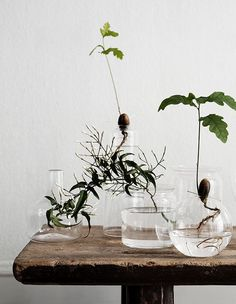 ekollon och glasvaser som på landet jarna - indoor house plants growing in water and glass vases