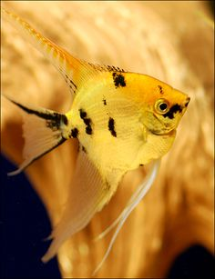 """Gold Marble Angelfish (Freshwater Angelfish for sale)Either one Angel to an aquarium or more than 3. Angels are Cichlids and like most Cichlids, if you keep just 2 or 3 in the same aquarium, the strongest one will make the others miserable. Angels do very well in a group with 6 or more Angels in a large aquarium with at least 50-gallons of water that is at least 18"""" deep."""
