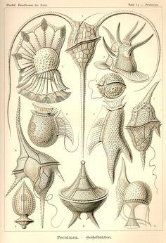 Ceratium tripos; Ornithocercus magnificus; Ceratocorys horrida; Goniodoma…