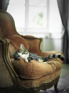 Beautiful tabby cat on antique velvet chair