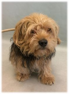 SUPER URGENT CHAGGE – 15089 **14 YRS OLD**   14Y Male Brown Small Mixed Breed,  Owner Surr:12/1/2017