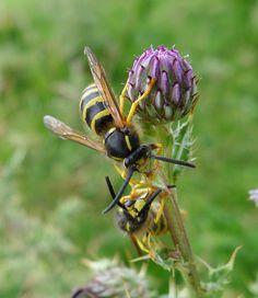 Tree Wasp. Dolichovespula sylvestris.