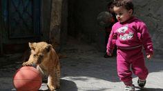 """Eine Familie in der Stadt Rafah im Gazastreifen hat sich zwei Löwenjunge als Haustiere zugelegt. Die zwei bis zweieinhalb Monate alten Tiere spielen nun mit den Enkelkindern von Said Eldin al-Dschamal, der sie von einem örtlichen Zoo kaufte.  Bereits jetzt essen die Löwen je ein halbes Kilogramm Fleisch pro Tag und Al-Dschamal ist sich bewusst, dass sie bald zu Gefahr werden. """"In einem Monat werden wir sie zu unser eigenen Sicherheit in einen Käfig sperren.""""…"""