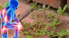 Možno ju máte v záhrade a nepoznáte tento zázračný účinok: Táto burina je záchrana pre kosti, cievy aj vašu pokožku – vyvážite ju zlatom! Purslane Plant, Villa Plan, Succulents, Health, Youtube, Plants, Animals, Diabetes, Gardening
