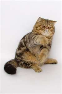 Image detail for -Cat Forum - Exotic Shorthair Club