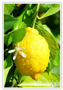 The common lemon has many purposes above and beyond the culinary. The volatile oils of the skin are antibacterial, lower blood pressure, aid digestive problems and sore throats. The fragrance has been shown to improve moods.