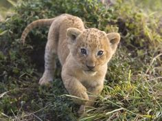 African Lion Cub, Masai Mara, Kenya, image uploaded by anonymous in creatures category. Animals Images, Funny Animals, Cute Animals, Wild Animals, Cubs Pictures, Animal Pictures, Tiny Baby Animals, Lions Photos, Leopard Cub