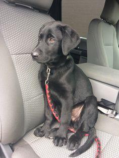 14 week old black la