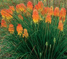 Red Hot Poker This unusual plant features stunning red and yellow flower spikes atop slim green stems and leaves, creating a dramatic focal point in the fall perennial bed. Red Hot Poker is also very deer resistant, while at the same time being attractive to bees, butterflies and birds.  USDA zones: 6a to 10b