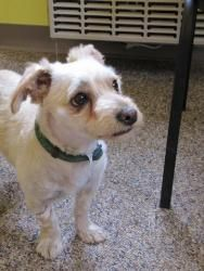 Parker is an adoptable West Highland White Terrier Westie Dog in East Hartford, CT. Parker is a fun little dog. We think he's a West Highland White Terrier maybe Mixed with a Lhasa Apso . It's hard to...