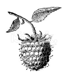 Raspberry Fruit Illustration | Vintage Farmer Garden Clipart royalty-free stock illustration