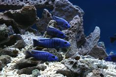 Image result for placidochromis jalo reef