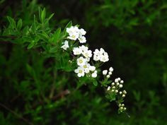 Wiosenne kwiaty - Tawuła szara
