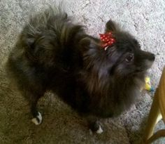 Sookie, the most amazing Pomeranian ever!