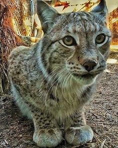If you got a bunch of these guys in a row would the be Lynx in a chain?