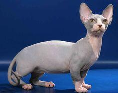 6 Razas de gato sin pelo | La Loca de los Gatos