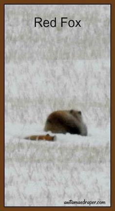 Red Fox, RM Montmartre, Saskatchewan, March 2018. Credit: Anita Mae Draper Canadian Wildlife, Red Fox, March, Blog, Photos, Image, Pictures, Blogging, Mac