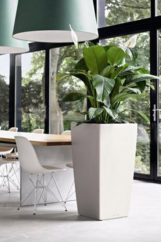 Note the Size: Big houseplants can serve multiple functions; think of them as a living screen or half wall as well as a beautiful piece of living art.