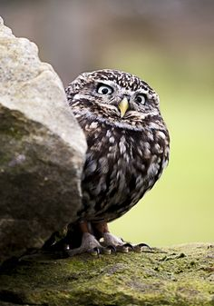 Little Owl by Clicky Chick, via Flickr