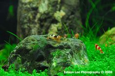 https://flic.kr/p/586HjB | crystal red shrimp | crystal red shrimp in Piper's pet shop.