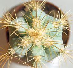 Multiplicación cactus suculentas  InfoCactus brinda informacion gratuita sobre Cactus y crasas. Cuidados de los cactus, Riego de cactus, flor de cactus y mucho mas en InfoCactus.com.ar