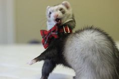 DIY ferret bow tie for Christmas! Ferrets Care, Cute Ferrets, Ferret Toys, Pet Cage, Cute Animal Drawings, Cute Little Baby, Cutest Thing Ever, Beagle, Fur Babies