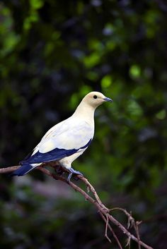 Pied Imperial Pigeon (Ducula bicolor) New Guinea, Philippines and Southeast Asia