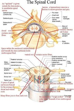 Spinal Cord Anatomy, Spinal Cord Injury, Nursing Tips, Nursing Notes, Medical Coding, Medical Science, Medical School, Spine Health, Human Anatomy And Physiology