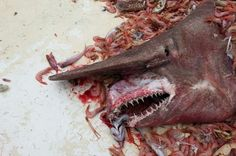 Goblin Shark Caught and Released in Gulf of Mexico (glad he wasn't at my beach--heart attack time!) o~o