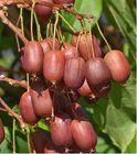 Kiwi arguta Scarlet September - samice, extra 2l Scarlet, September, Fruit, Scarlet Witch