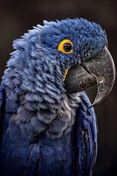Hyacinth macaw (Anodorhynchus hyacinthinus) by Juan-Claude Sch.