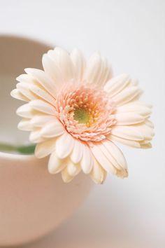 Milky and soft Gerbera Flower, My Flower, Flower Art, Flower Power, Flower Backgrounds, Flower Wallpaper, Amazing Flowers, Pretty Flowers, Wallpaper Inspiration