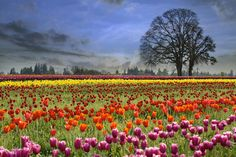 Tulips Blooming in Spring Season - Colorful Tulip Flowers Blooming in Tulips Field at Spring Season One Foggy Morning