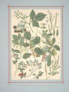 Flore forestière : illustrée arbres et arbustes du centre de l'Europe. by C de Kirkwan, 1872