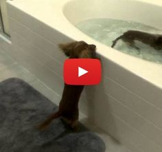 Mini dachshunds very excited for bath time, jump into tub (or at least try to)