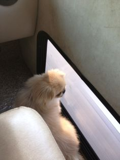 Our cute #Pekingese RV rider - Charli. She LOVES the pet window in the RV.