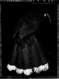 http://www.nadenemilnegallery.com/files/artists/477/art/Birds-huia-female.jpg  Fiona Pardington