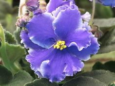 RS Breath of The Sea Ukrainian African Violet in Bloom | eBay