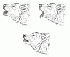 how to draw howling wolves, howling wolf step 2