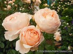 Resultado de imagen para jardines de rosas naturales