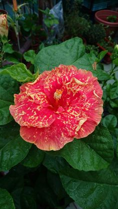 "Hibiscus ""Hot Sun"" = Hibiscus- ا Hibiscus Tree, Hibiscus Plant, Hibiscus Flowers, Exotic Flowers, Large Flowers, Fresh Flowers, Wonderful Flowers, Beautiful Flowers, Hibiscus Rosa Sinensis"
